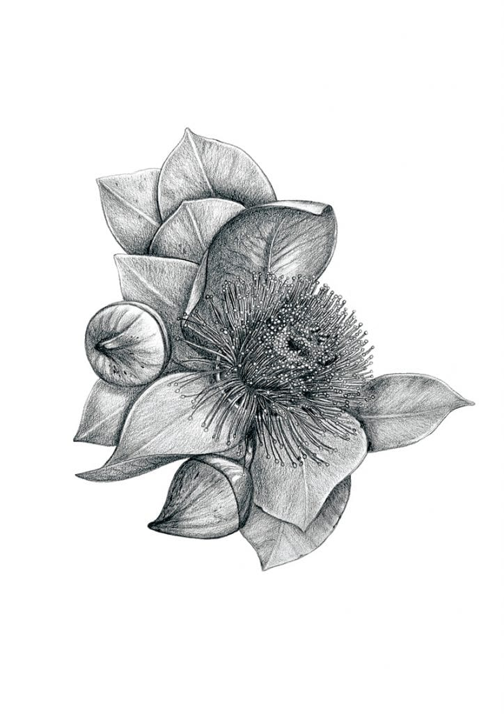 illustration of gum blossom