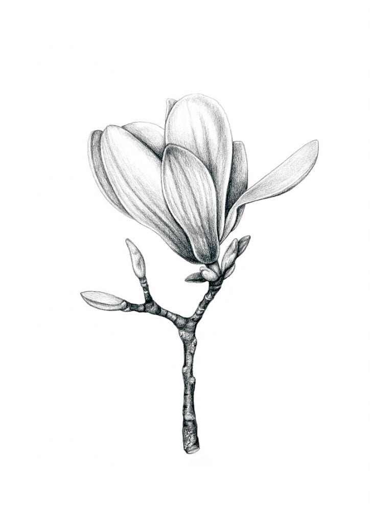 art illustration of magnolia