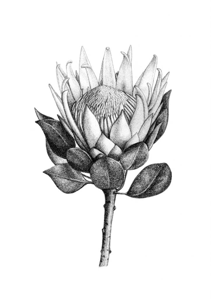 illustration of king protea