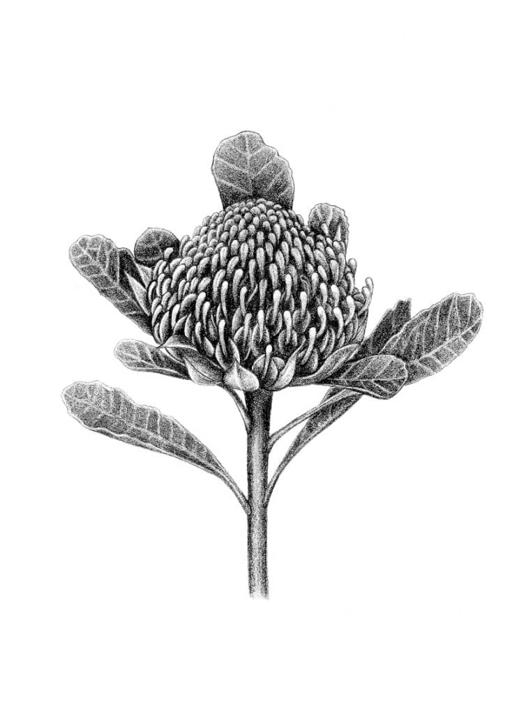 illustration of waratah