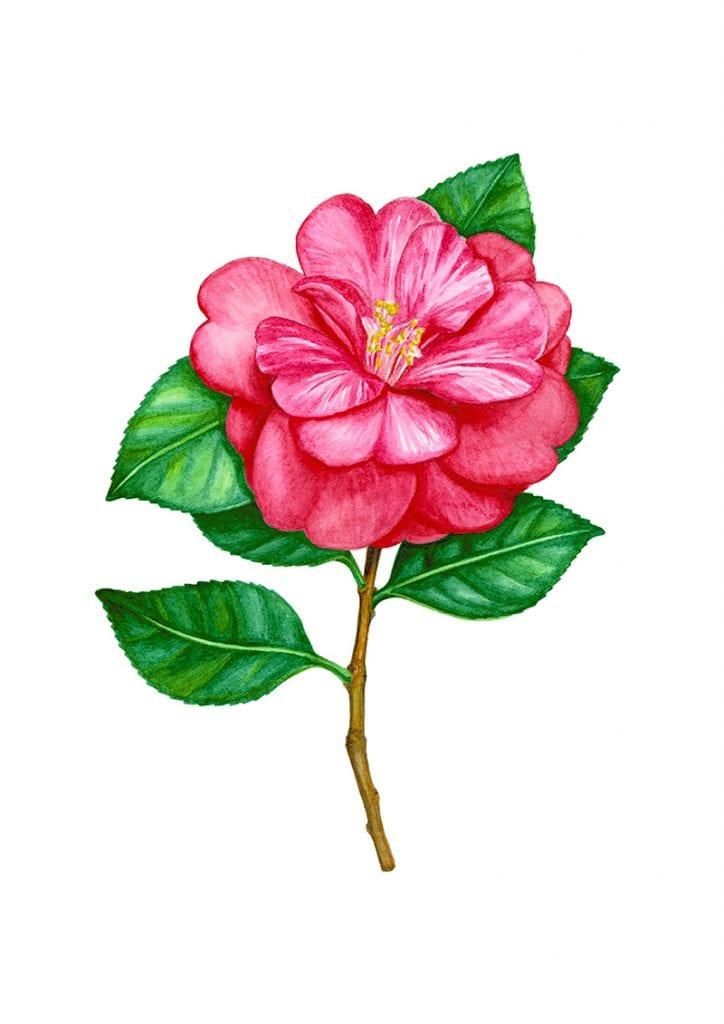 illustration of camellia